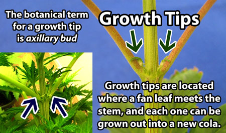 "What is a ""growth tip"" on a marijuana plant? The botanical term is an ""axillary bud"". These will grow into new stems or main colas! They are located at the base of fan leaves."