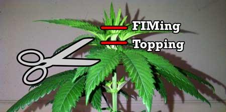 how to grow 3 metre cannabis plants