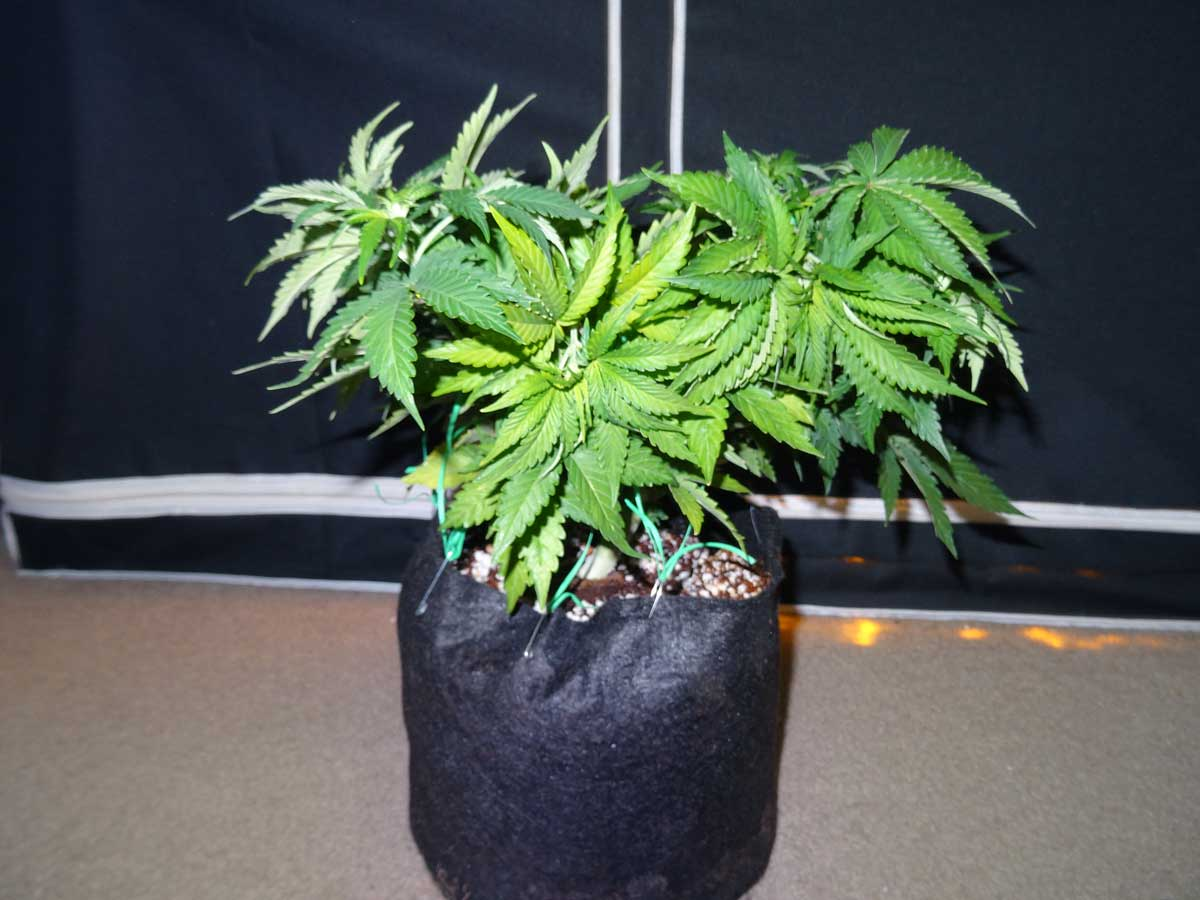 7 Unfortunate Plant Training Mistakes Grow Weed Easy Bonsai Wiring Techniques Excessive On Sick Or Slow Growing Plants