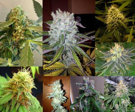 Assortment of cannabis buds from different strains