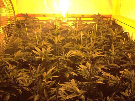Example of cannabis plants installed with bamboo stakes - this makes it easier for LST