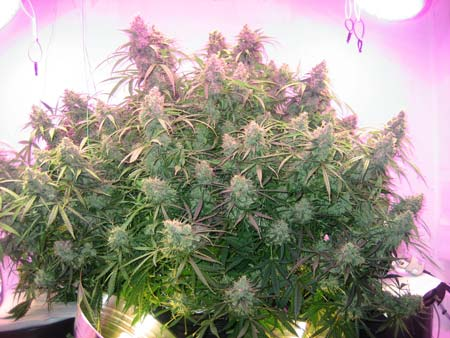 Example of a bushy marijuana plant grown under LEDs and CFLs - it was trained to produce multiple colas!