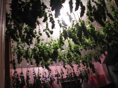 A grower drying tons of cannabis buds - LST can help you accomplish these kinds of yields!