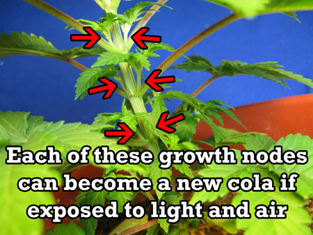 These growth nodes will become colas when exposed to light and air