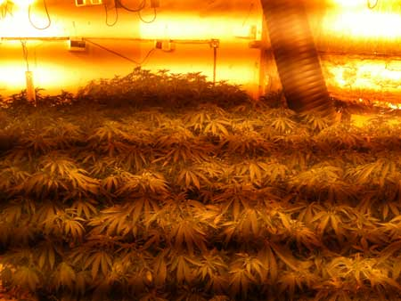 The dark bands or lines is this pictures are caused by the magnetic ballasts of the HPS grow lights