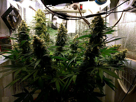 A cannabis plant that has been trained using techniques like LST to produce many colas