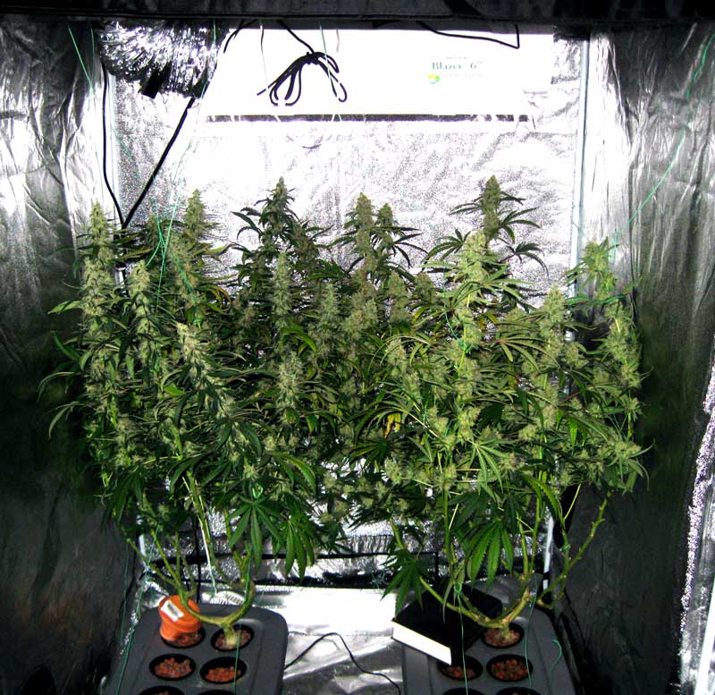 How Many Plants to Maximize Grow Space? | Grow Weed Easy
