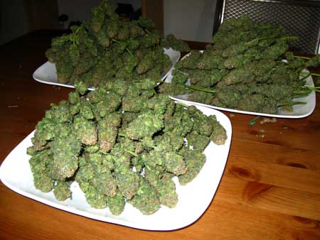 Pile of dense cannabis buds