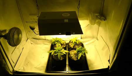 2 week old auto-flowering cannabis plants under a 250W light