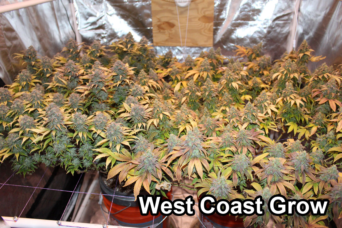 Pictures From Growweedeasy Readers Grow Weed Easy
