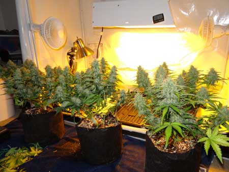 From left to right: Dinafem Critical Jack, Dinafem Sour Diesel, Dutch Passion Blue AutoMazar