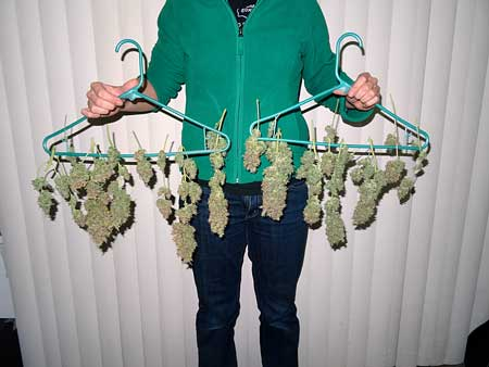 Holding up the Blue AutoMazar cannabis harvest - now they need to be dried