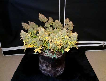 Auto-flowering Critical Jack plant just before harvest
