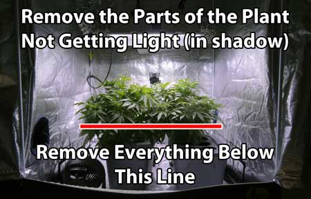 Cannabis Defoliation Technique - remove the parts of the plant that are in complete shadow