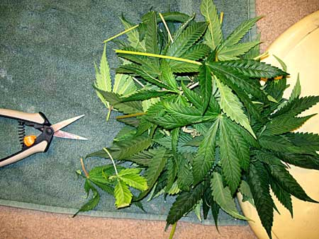 Leaves laying on the floor after the cannabis plant was defoliated