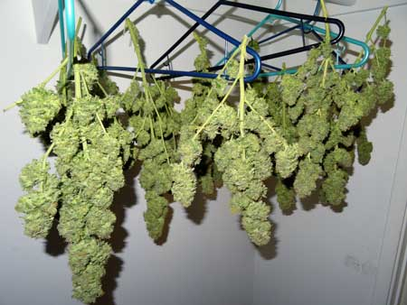 Buds from defoliated White Rhino cannabis plant hanging as they dry