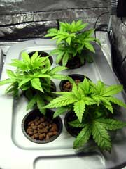 Example of happy cannabis plants in the vegetative stage growing in a DWC hydroponic setup