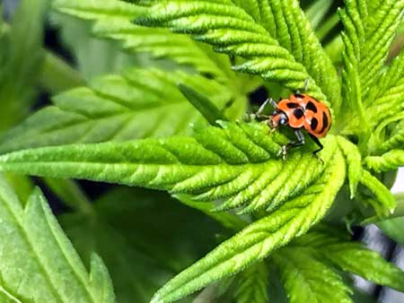 Picture of a beetle on a cannabis leaf - I don't think it's actually a ladybug but it looks like one