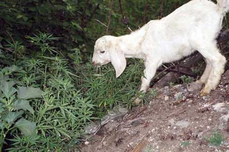 Picture of a goat eating cannabis plants