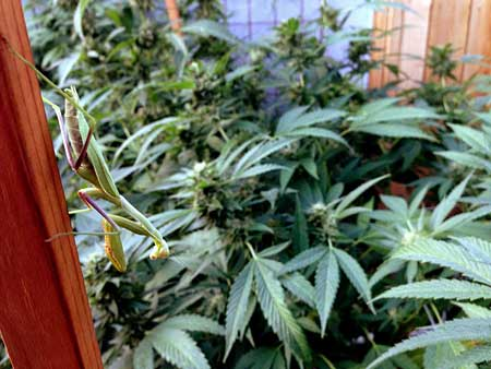 Picture of a praying Mantis in an indoor cannabis garden