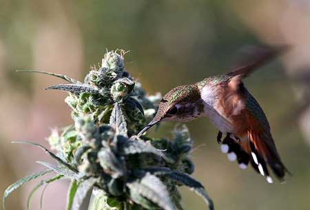 A busy hummingbird checking out some marijuana