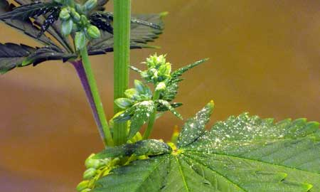 Example of a male marijuana plant spilling pollen onto a nearby leaf
