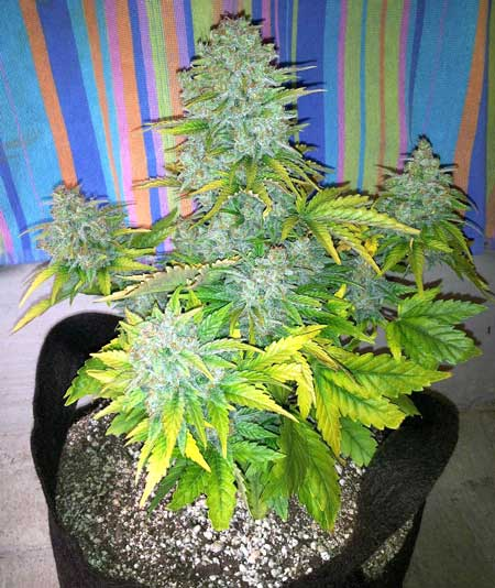 This auto-flowering cannabis plant has been flushed and is ready to harvest!