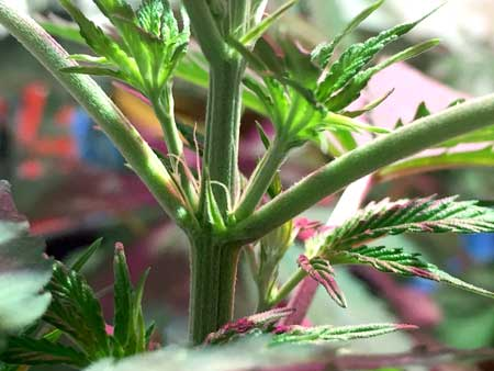 Example of a cannabis calyx (female pre-flower) with pistils