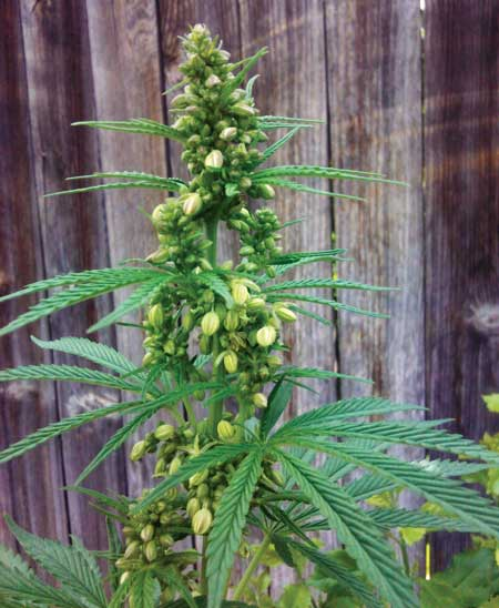Example of a fully formed male cannabis plant