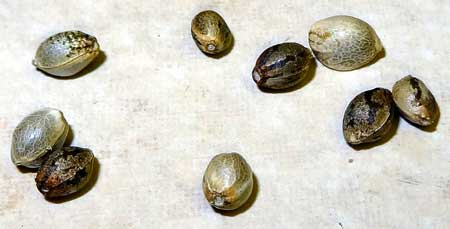 Viable cannabis seeds can be a solid color or have stripes. Seeds have a dark coating that has what looks like tiger stripes. This is a coating that can be rubbed off, underneath cannabis seeds are a solid light brown or gray color
