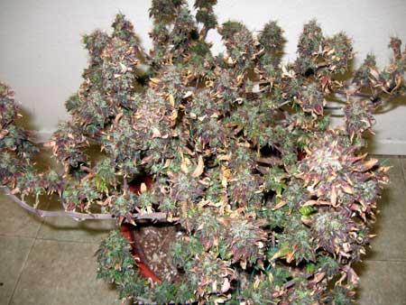 LED grow lights were kept too close to the plant in the flowering stage, causing the whole plant to turn red and leaves to burn