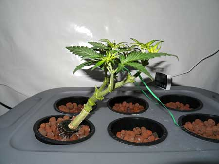 Side view - 8 colas are left on this cannabis plant after its last topping/training session