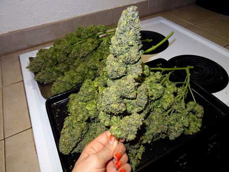 Holding a big bud in front of the rest of the cannabis harvest