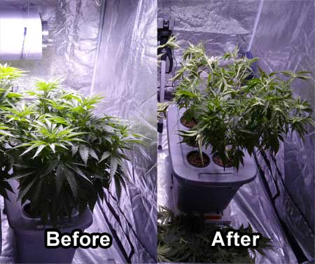 A 'before and after' shot of a defoliated Critical Kush Plant