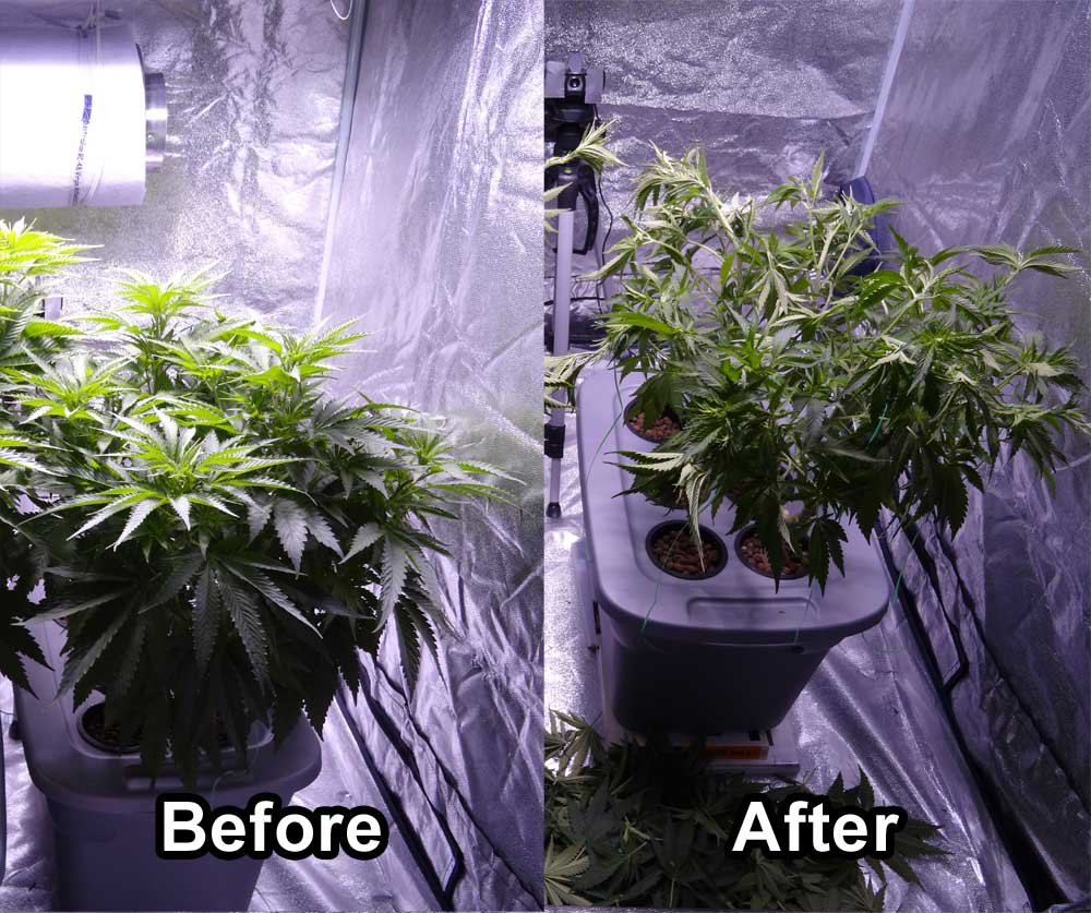 Don't Make These Plant Training Mistakes! | Grow Weed Easy