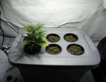 Original Amnesia cannabis plant just before being topped the first time