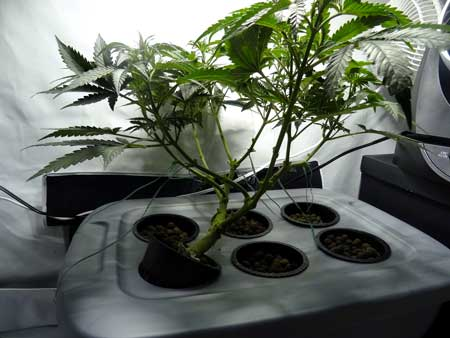 """The """"skeleton"""" of this almost fully trained cannabis plant is revealed after the lower growth is removed"""
