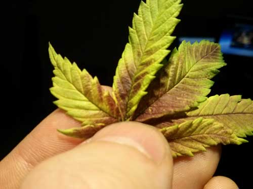 Cannabis phosphorus deficiency in flowering - Leaves near buds directly under bright light (or sunlight) get purple splotches and turn yellow around the edges.