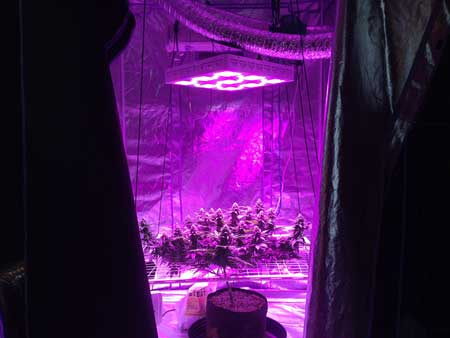 "LED grow lights usually need to be 18"" or more above your plants in order to prevent bleaching and light burn"