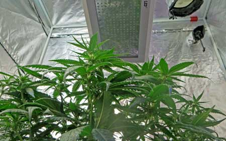 What happens to your cannabis plants if your LED grow light goes dark in the middle of a grow?
