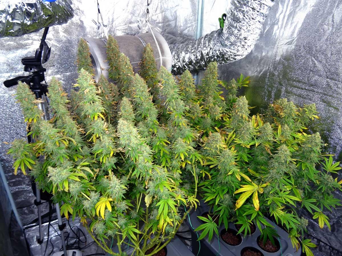 Weed plants growing in pot