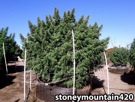 11 pound cannabis plant grown outdoors in a 400 pound smart pot in Vermisoil