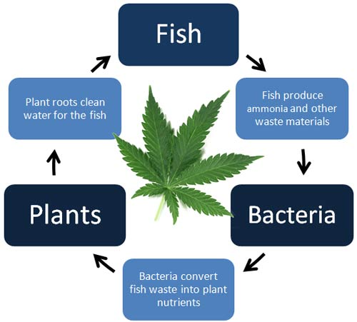 Aquaponics & Cannabis Cycle of Life