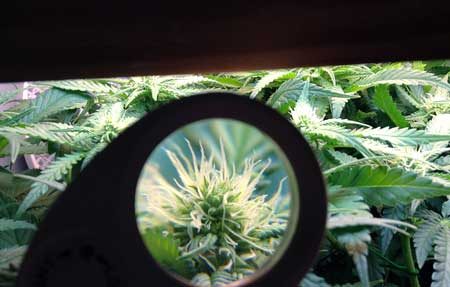 Closeup of the white pistils of a cannabis plant using a jeweler's loupe
