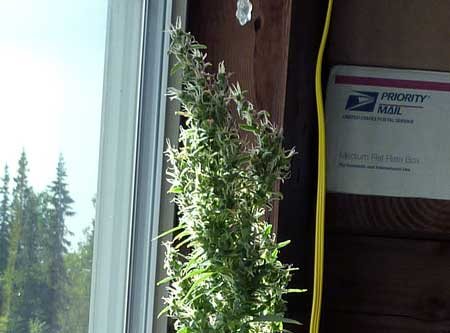 Cannabis plant with foxtails growing on foxtails