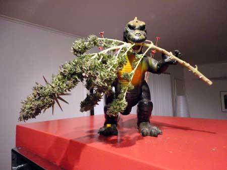 Godzilla got these cannabis buds!