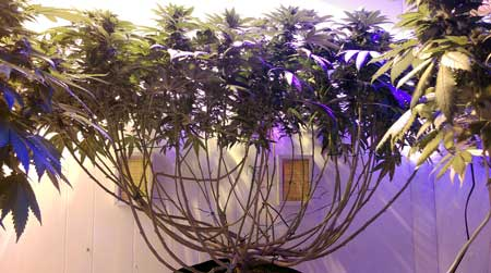 This marijuana plant has been monstercropped, which give it its strange branchy, stretchy shape