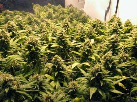 A sea of marijuana buds - these female cannabis plants all came from feminized seeds!