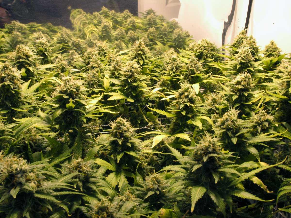 Feminized Cannabis