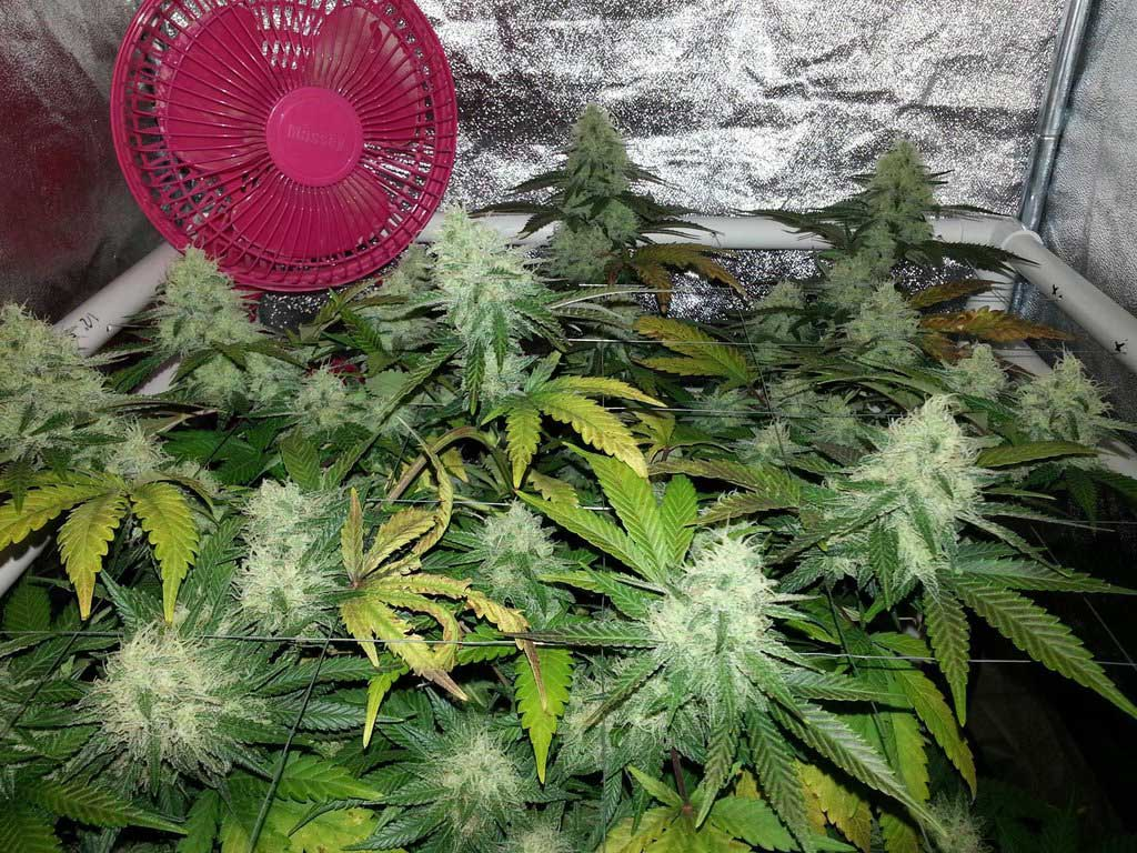 What To Expect During The Cannabis Flowering Stage Grow Weed Easy